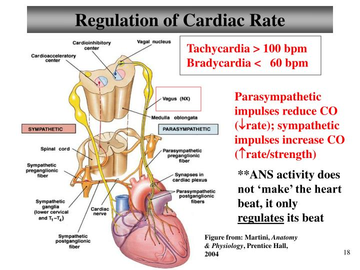 Regulation of Cardiac Rate