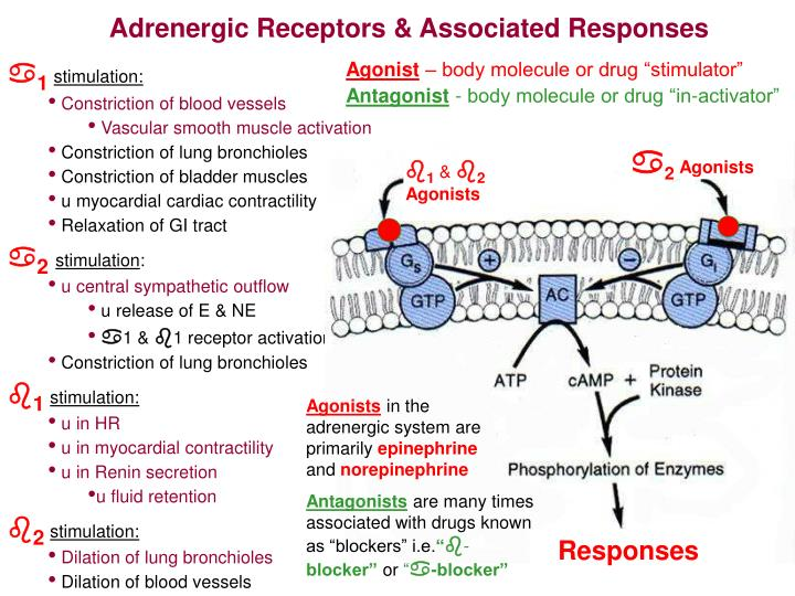 Adrenergic Receptors & Associated Responses