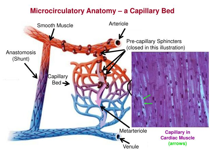 Microcirculatory Anatomy – a Capillary Bed