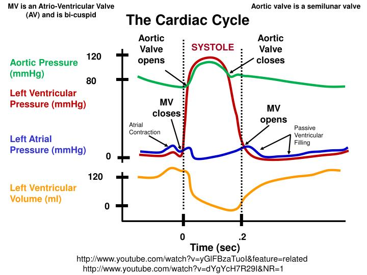 MV is an Atrio-Ventricular Valve (AV) and is bi-cuspid