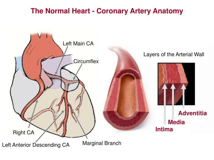 The Normal Heart - Coronary Artery Anatomy