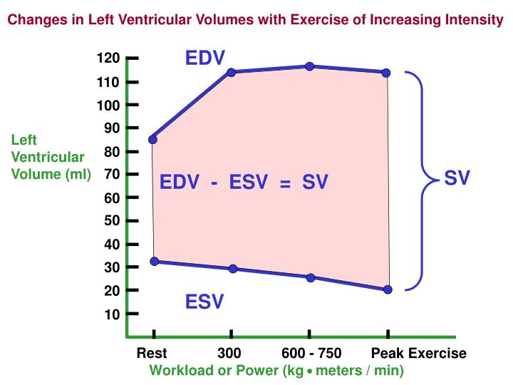 Changes in Left Ventricular Volumes with Exercise of Increasing Intensity