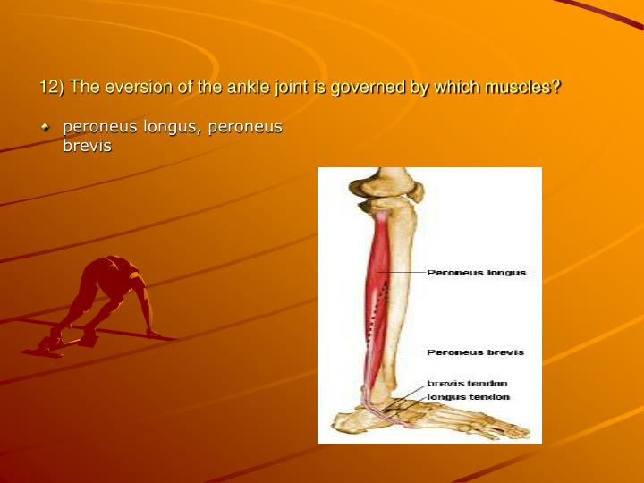 12) The eversion of the ankle joint is governed by which muscles?