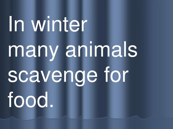 In winter     many animals    scavenge for food.