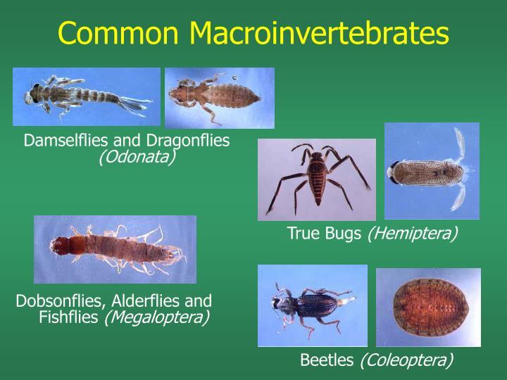 Common Macroinvertebrates