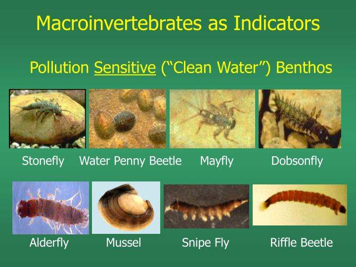 Stonefly    Water Penny Beetle     Mayfly Dobsonfly