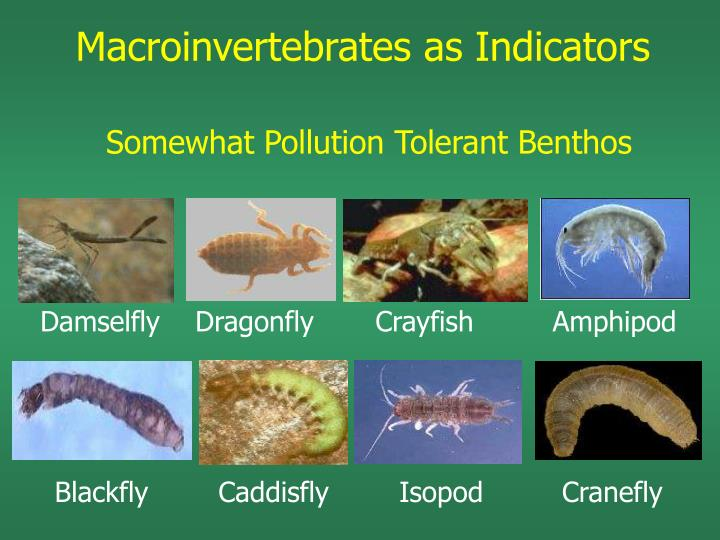 Macroinvertebrates as Indicators