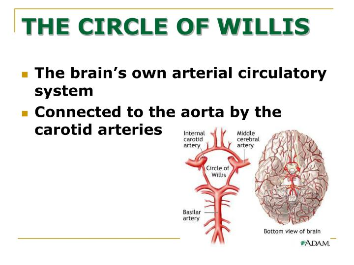 The brain's own arterial circulatory system