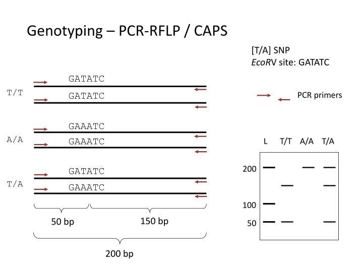 Genotyping – PCR-RFLP / CAPS
