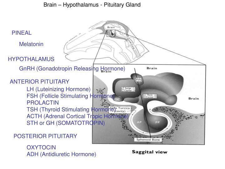 Brain – Hypothalamus - Pituitary Gland