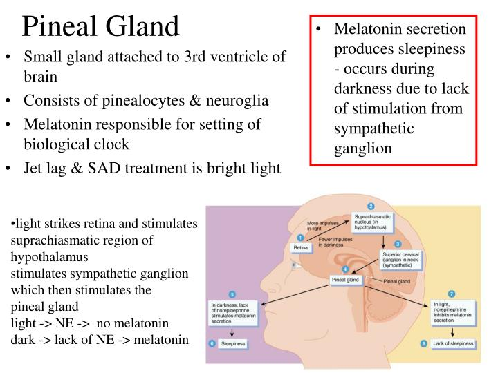 Melatonin secretion produces sleepiness  - occurs during darkness due to lack of stimulation from sympathetic ganglion