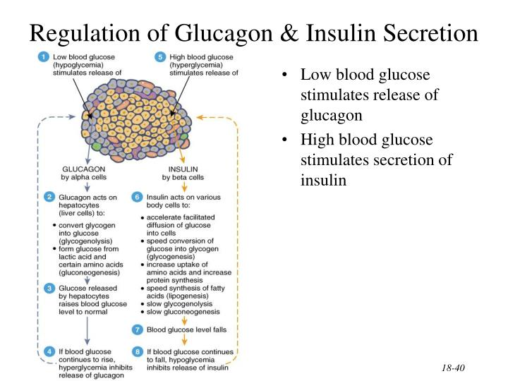 Regulation of Glucagon & Insulin Secretion