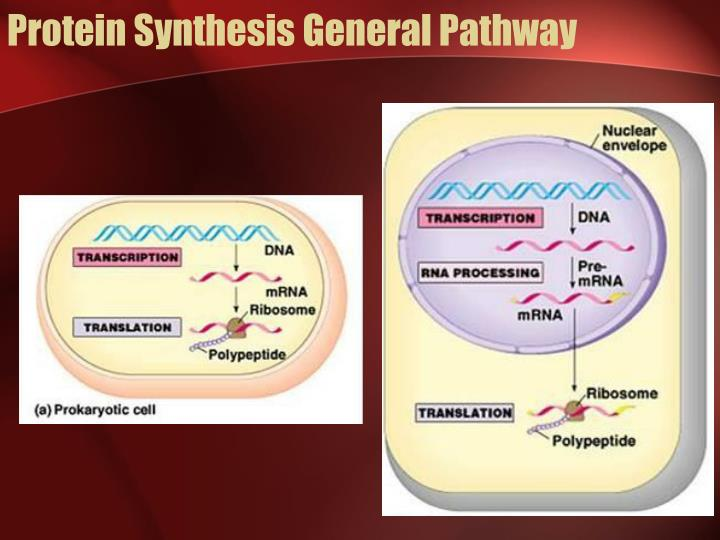 Protein Synthesis General Pathway
