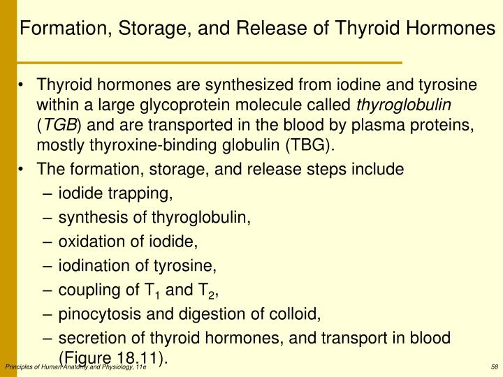Formation, Storage, and Release of Thyroid Hormones