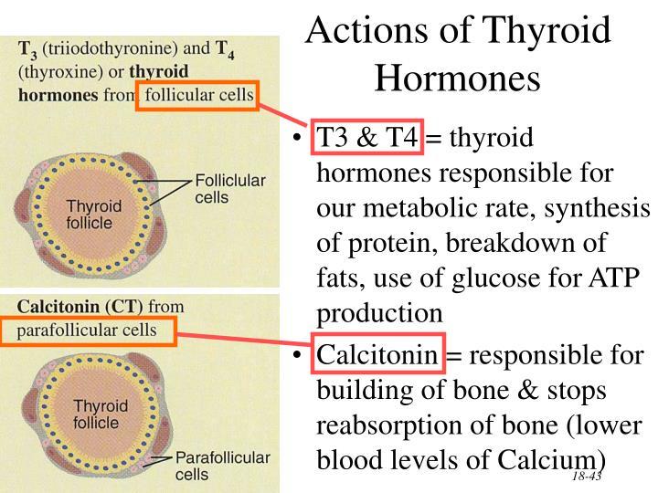 Actions of Thyroid Hormones