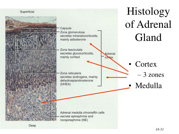 Histology of Adrenal