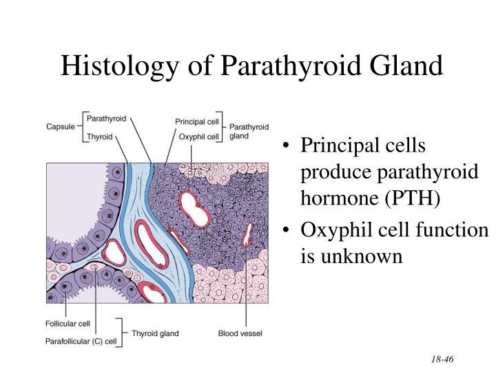 Histology of Parathyroid Gland