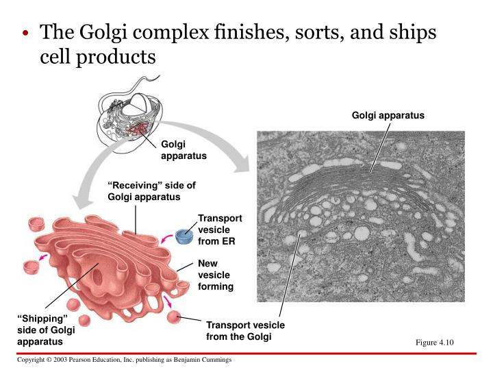 The Golgi complex finishes, sorts, and ships cell products