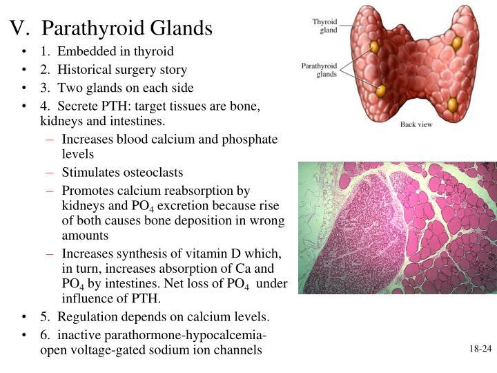 V.  Parathyroid Glands