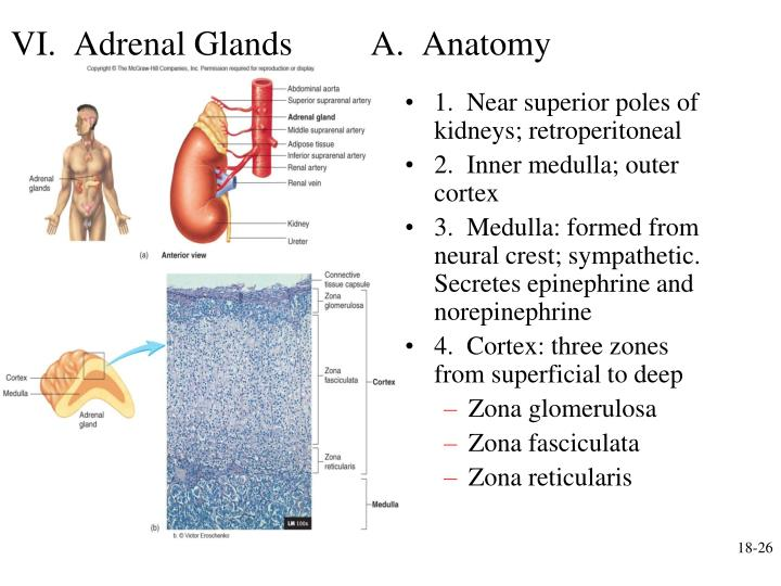 VI.  Adrenal Glands         A.  Anatomy
