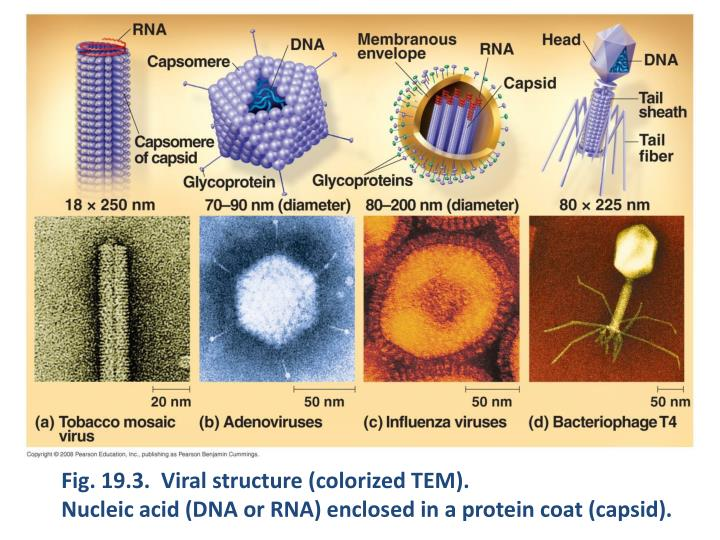 Fig. 19.3.  Viral structure (colorized TEM).