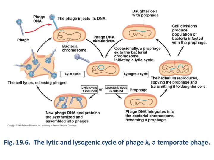 Fig. 19.6.  The lytic and lysogenic cycle of phage
