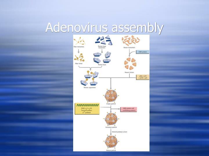 Adenovirus assembly