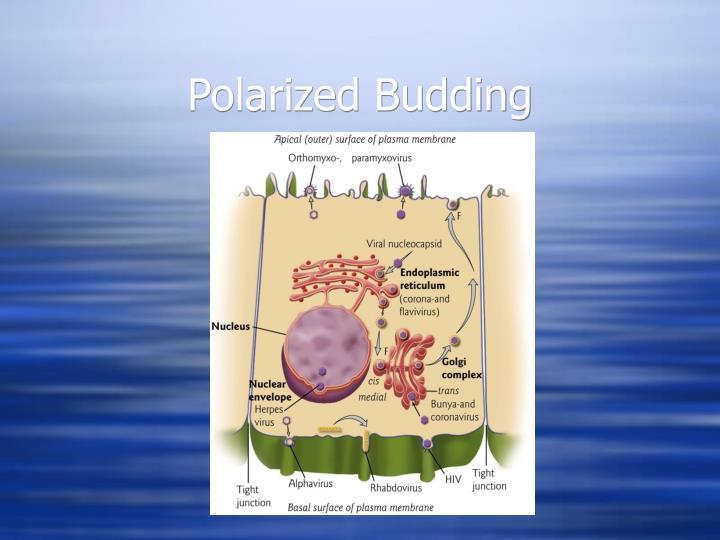 Polarized Budding