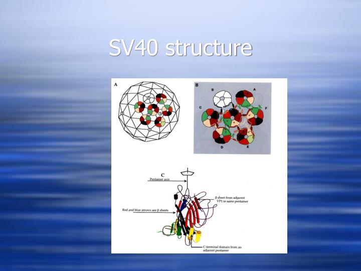 SV40 structure