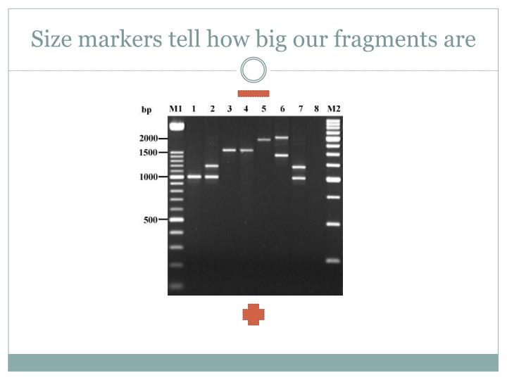 Size markers tell how big our fragments are