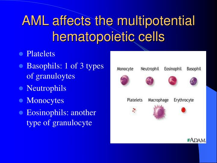 AML affects the multipotential hematopoietic cells