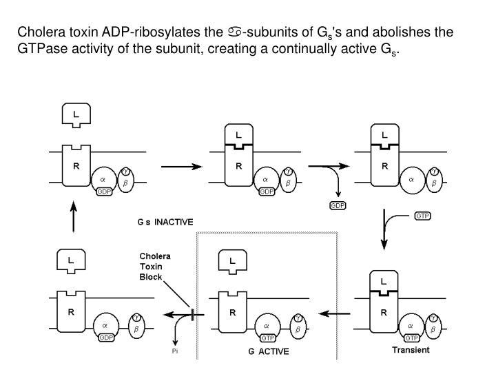 Cholera toxin ADP-ribosylates the