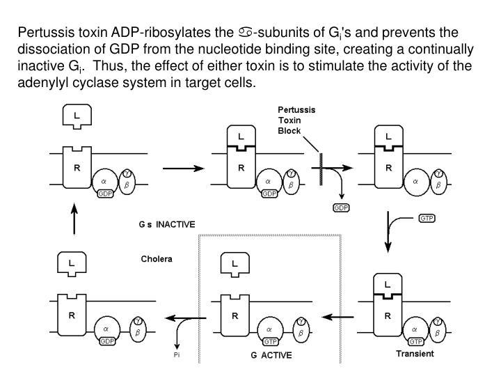 Pertussis toxin ADP-ribosylates the