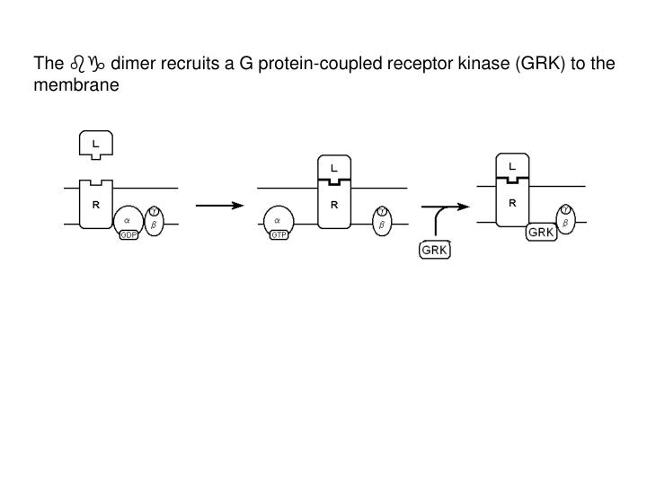 The  dimer recruits a G protein-coupled receptor kinase (GRK) to the membrane