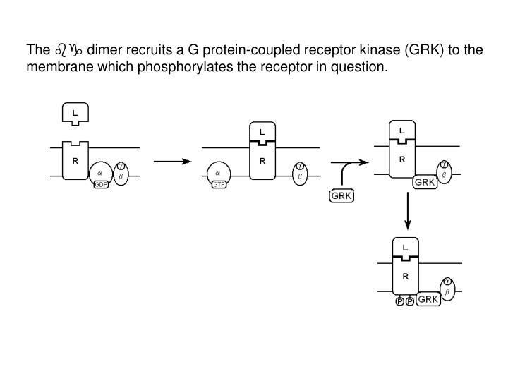 The  dimer recruits a G protein-coupled receptor kinase (GRK) to the membrane which phosphorylates the receptor in question.