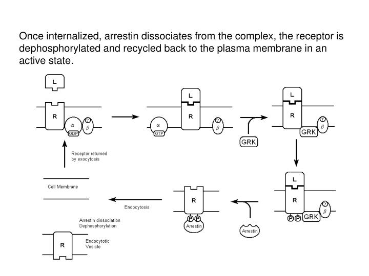 Once internalized, arrestin dissociates from the complex, the receptor is dephosphorylated and recycled back to the plasma membrane in an active state.