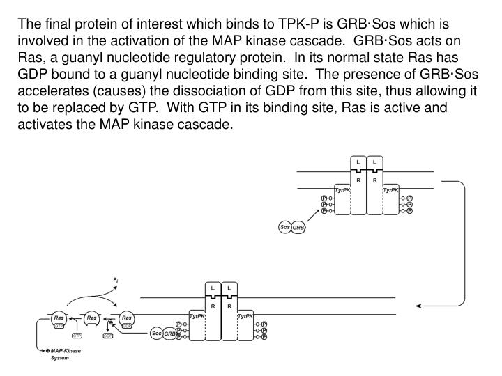The final protein of interest which binds to TPK-P is GRB·Sos which is involved in the activation of the MAP kinase cascade.  GRB·Sos acts on Ras, a guanyl nucleotide regulatory protein.  In its normal state Ras has GDP bound to a guanyl nucleotide binding site.  The presence of GRB·Sos accelerates (causes) the dissociation of GDP from this site, thus allowing it to be replaced by GTP.  With GTP in its binding site, Ras is active and activates the MAP kinase cascade.