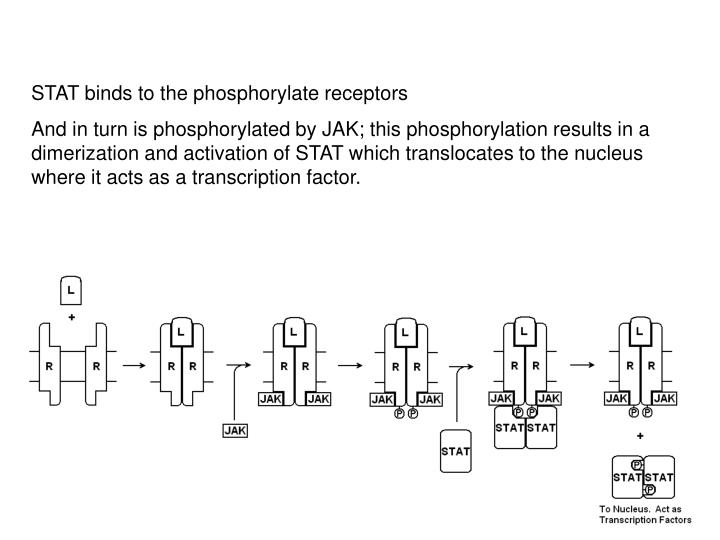 STAT binds to the phosphorylate receptors