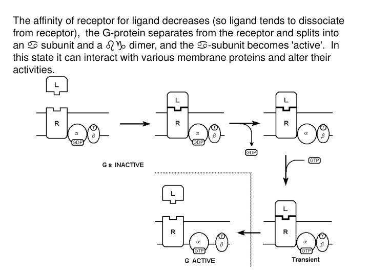 The affinity of receptor for ligand decreases (so ligand tends to dissociate from receptor),  the G-protein separates from the receptor and splits into an