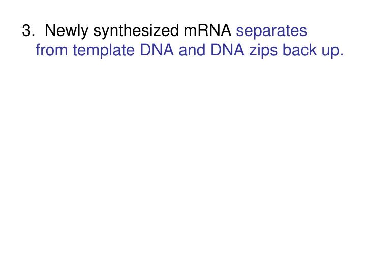 3.  Newly synthesized mRNA