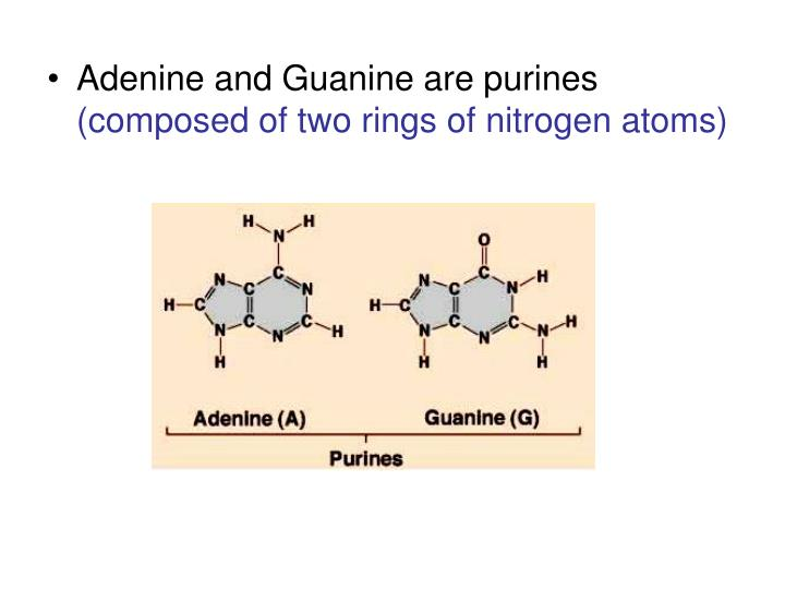 Adenine and Guanine are purines