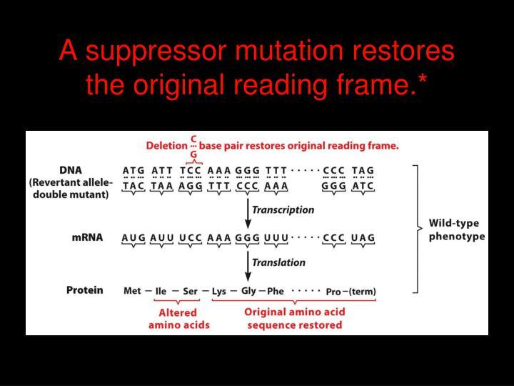 A suppressor mutation restores the original reading frame.*