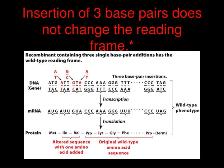 Insertion of 3 base pairs does not change the reading frame.*