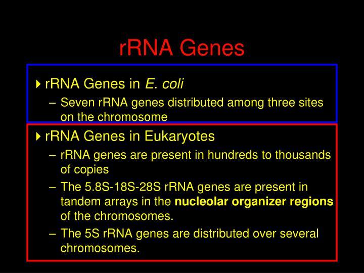 rRNA Genes