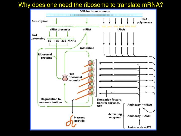 Why does one need the ribosome to translate mRNA?