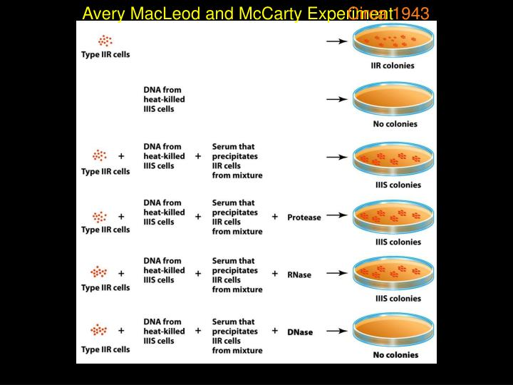 Avery MacLeod and McCarty Experiment