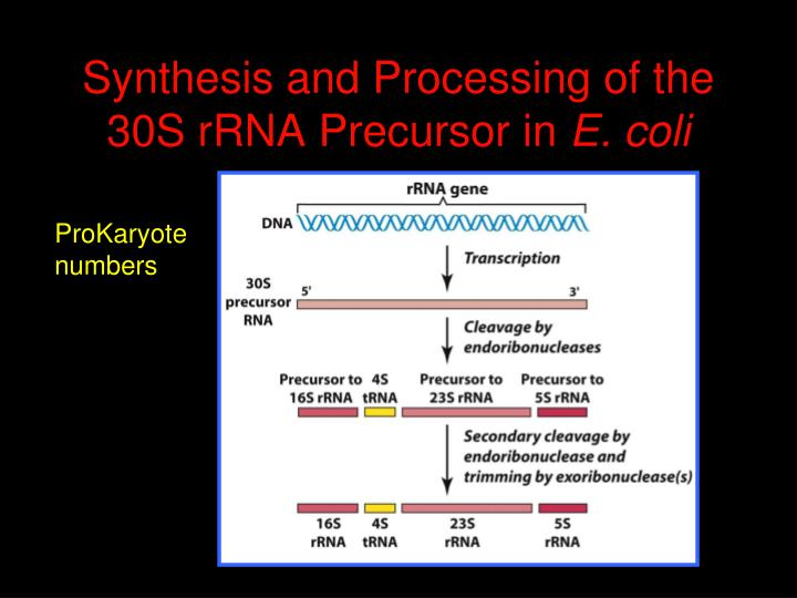 Synthesis and Processing of the 30S rRNA Precursor in