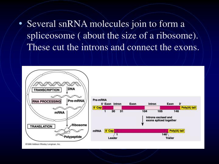 Several snRNA molecules join to form a spliceosome ( about the size of a ribosome).  These cut the introns and connect the exons.
