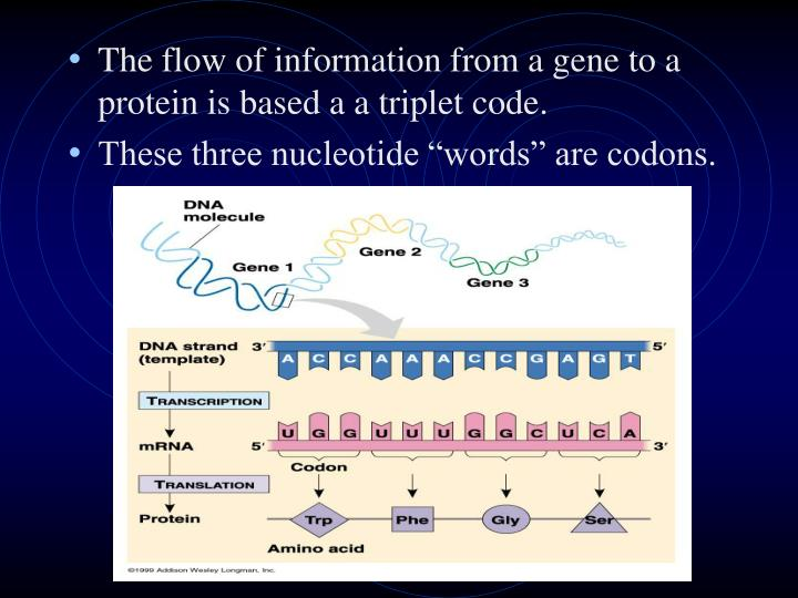 The flow of information from a gene to a protein is based a a triplet code.