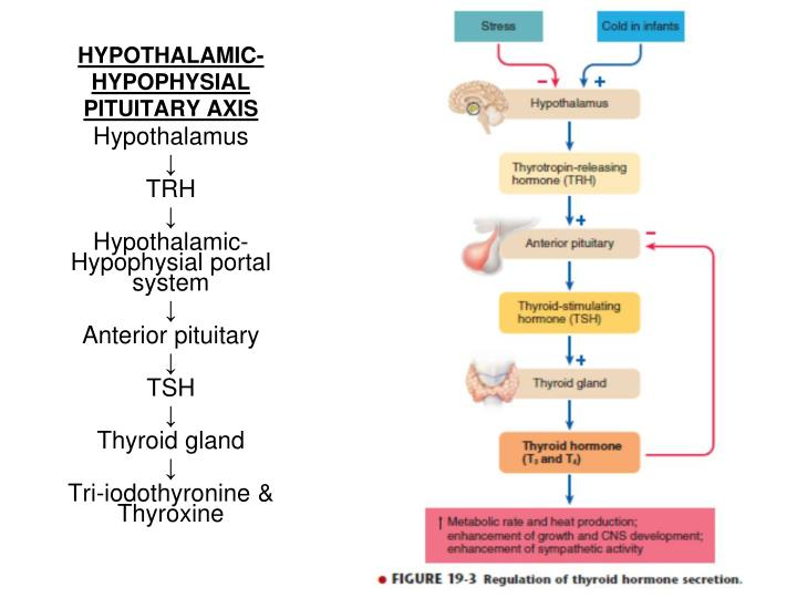 HYPOTHALAMIC-HYPOPHYSIAL PITUITARY AXIS